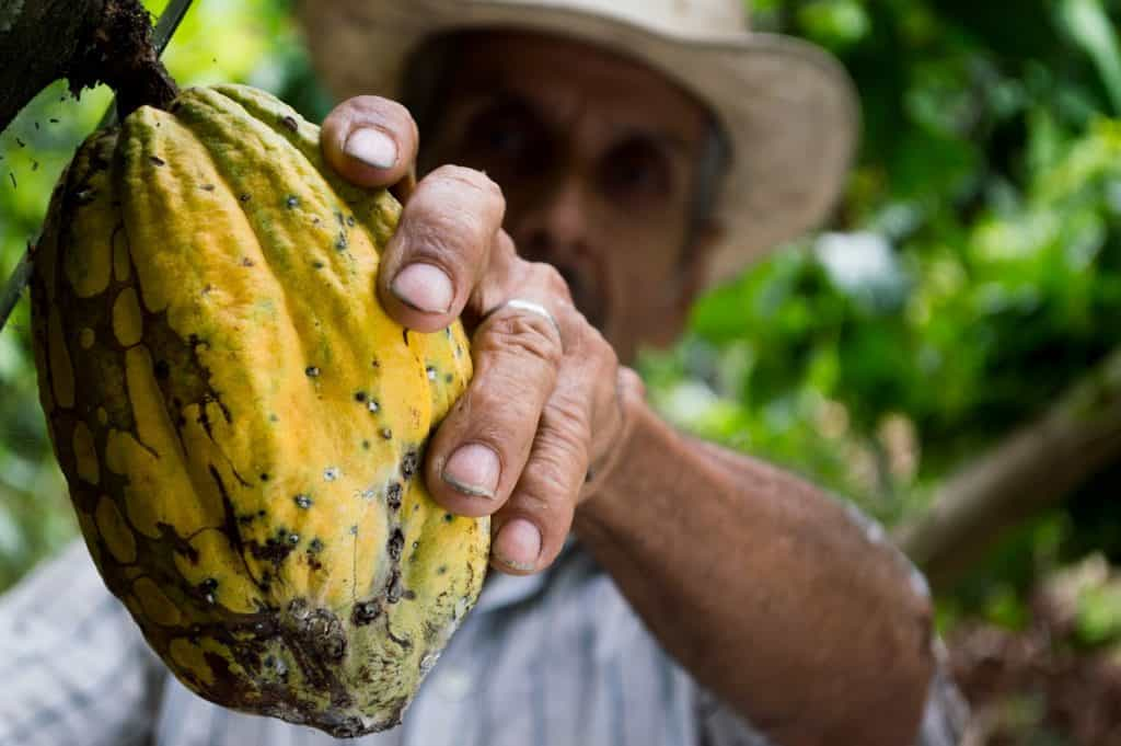 Man holding a cocoa fruit